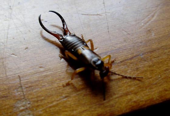 Creepy Pincher bug - Forficula auricularia - male