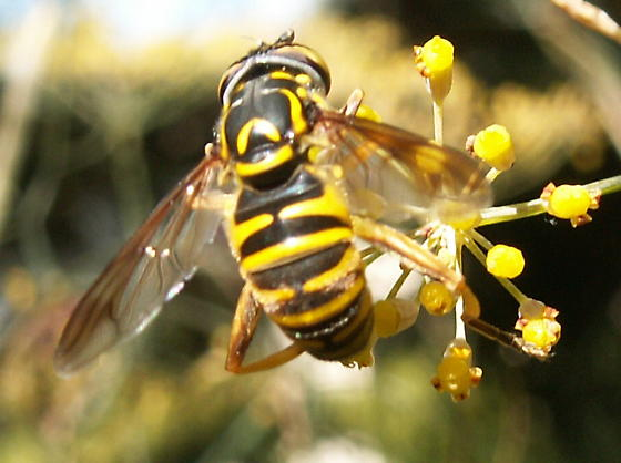 Another wasp to ID - Spilomyia - female