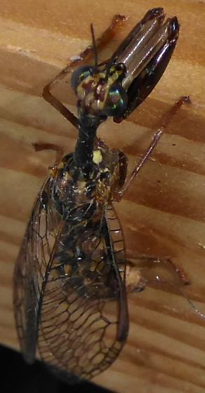 Mantispidae - female