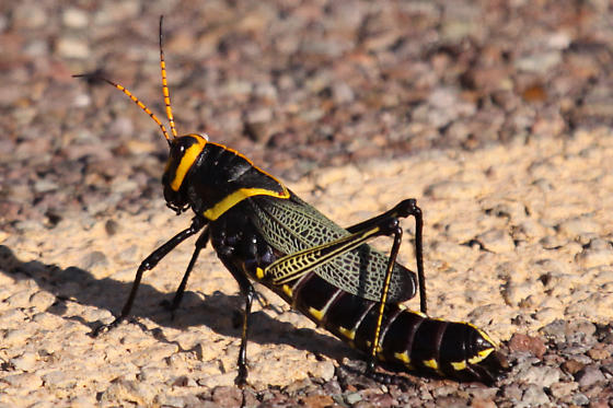 Horse Lubber Grasshopper at Big Bend National Park - Taeniopoda eques - female