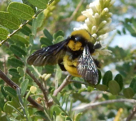 Bumblebee - Bombus sonorus