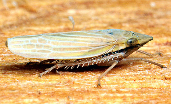 Draeculacephala septemguttata - male