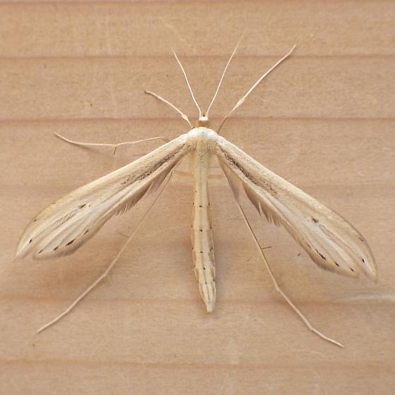 Pterophoridae: Hellinsia lacteodactylus? - Hellinsia