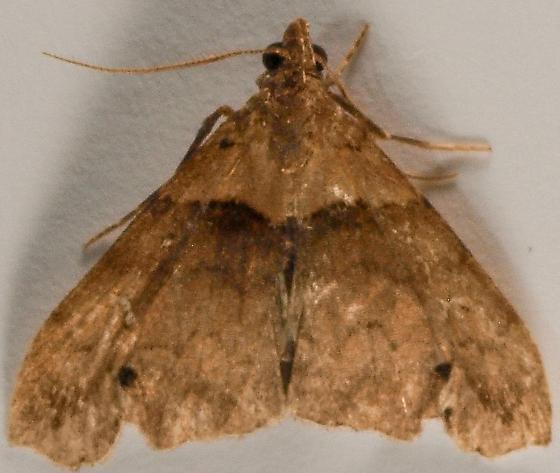 Moth to porch light  - Lascoria ambigualis - male