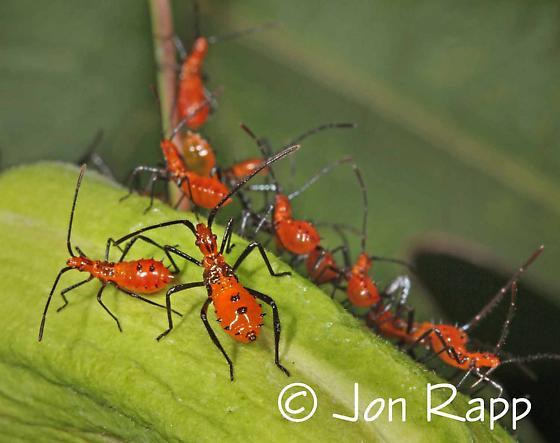Bug nymph - Leptoglossus