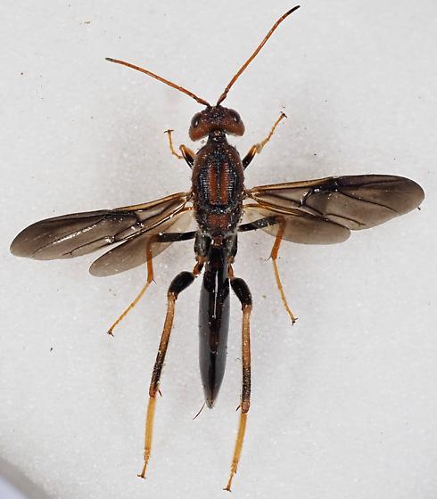 Ibaliidae - Ibalia - female