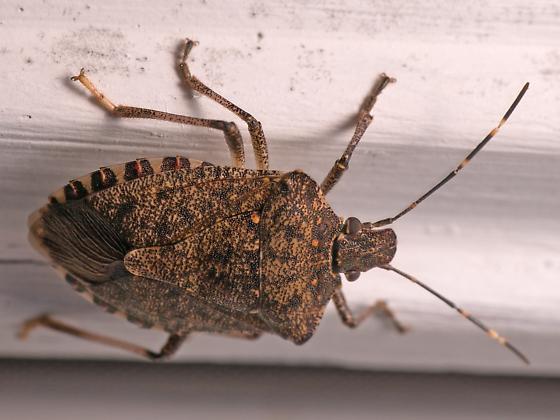 Stink bug autumn visit - Halyomorpha halys