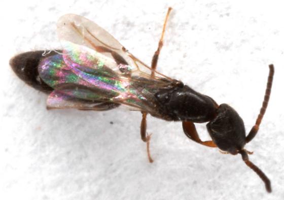 Bethylidae - Holepyris - female