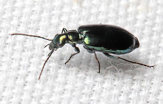 Beetle - Lebia viridis