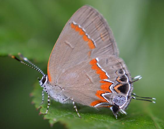 Red-banded Hairstreak - Hodges#4299 (Calycopis cecrops) - Calycopis cecrops