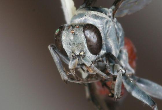 Xero female - Anoplius apiculatus - female
