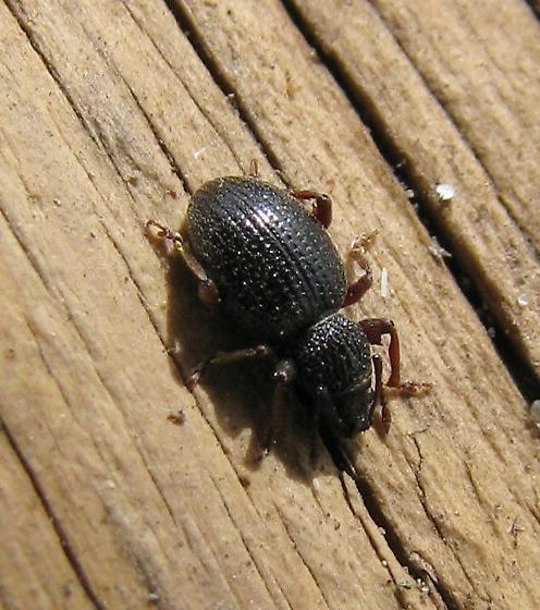 Medium-sized Idaho beetle found under a log - Otiorhynchus ovatus