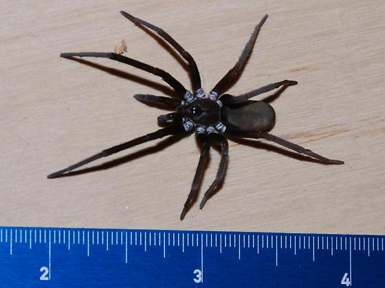 large black spider - Kukulcania hibernalis