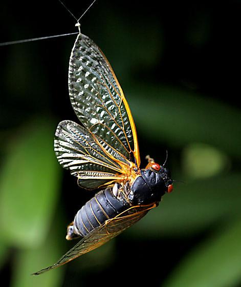 locust - Magicicada