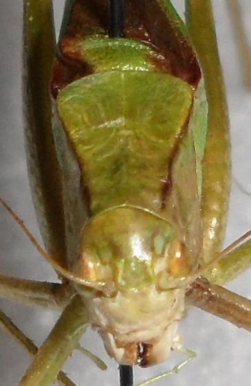 Oblong-winged Katydid - Amblycorypha oblongifolia - male