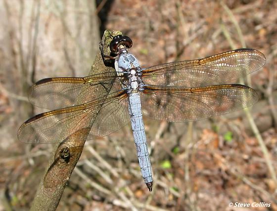 Yellow-sided Skimmer - Libellula flavida - male