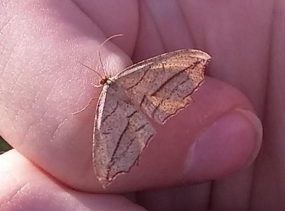 Common moth of fields - Timandra amaturaria - female