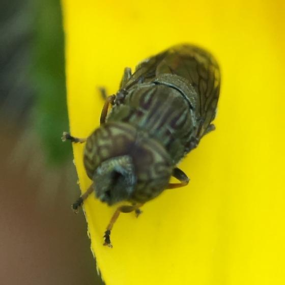 """Fly"" with intetesting patterns - Orthonevra nitida"