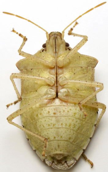 905W33 - Euschistus servus - female