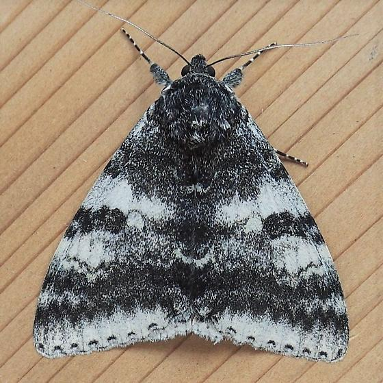 Erebidae:  - Catocala relicta