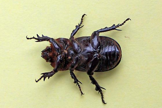 Beetle ID? - Hemiphileurus illatus