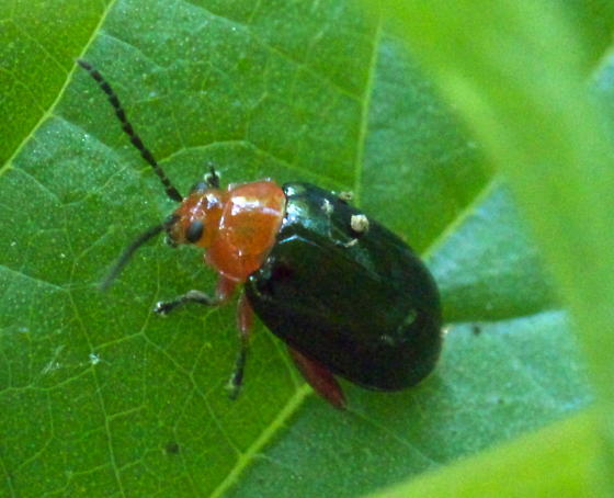 Small Black Beetle with a Red Head - Asphaera lustrans
