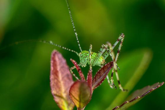 cricket or hopper - Microcentrum