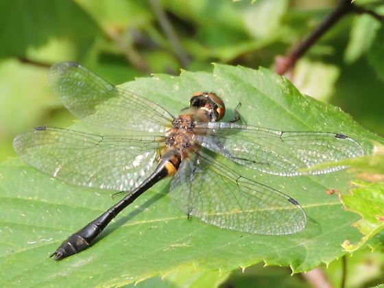 American Emerald Dragonfly - Dorocordulia libera