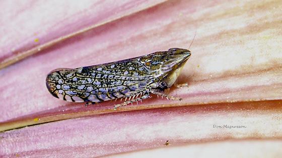 Sharp-nosed Leafhopper - Scaphytopius acutus