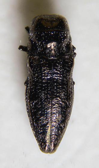 Small Buprestid - Taphrocerus
