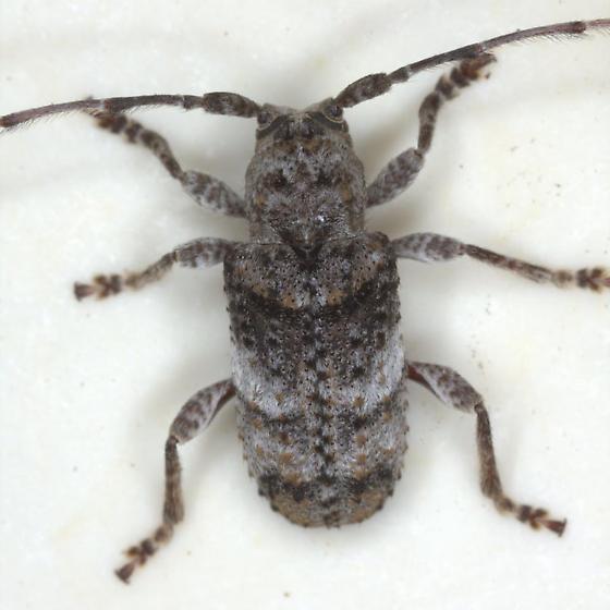 Ecyrus arcuatus Gahan - Ecyrus arcuatus