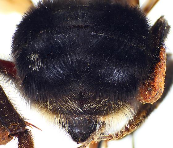 Bombus franklini Q - Bombus franklini - female
