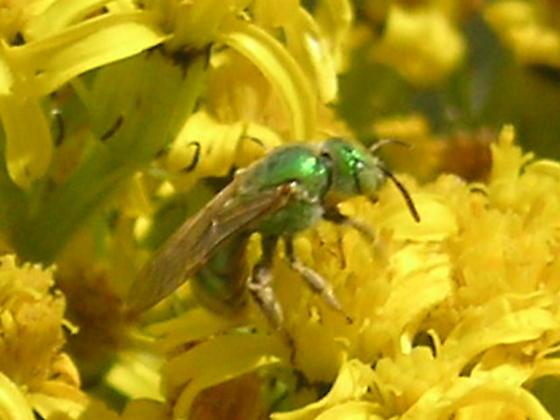 Agapostemon texanus angelicus (Halictidae) in the Colorado Rockies. - Agapostemon - female
