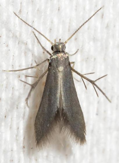 Schreckensteinia erythriella? - Schreckensteinia erythriella
