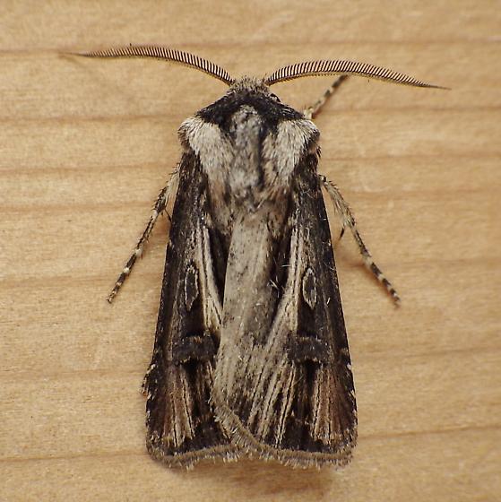 Noctuidae: Agrotis venerabilis - Agrotis venerabilis - male