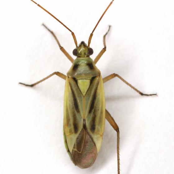 Stenotus binotatus (Fabricius) - Stenotus binotatus