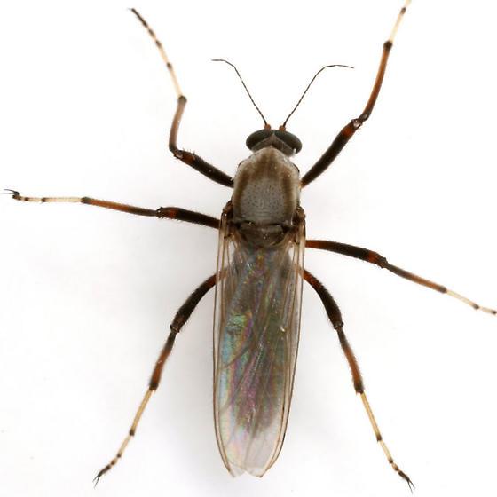 Sphaeromias longipennis (Loew) - Sphaeromias longipennis - female