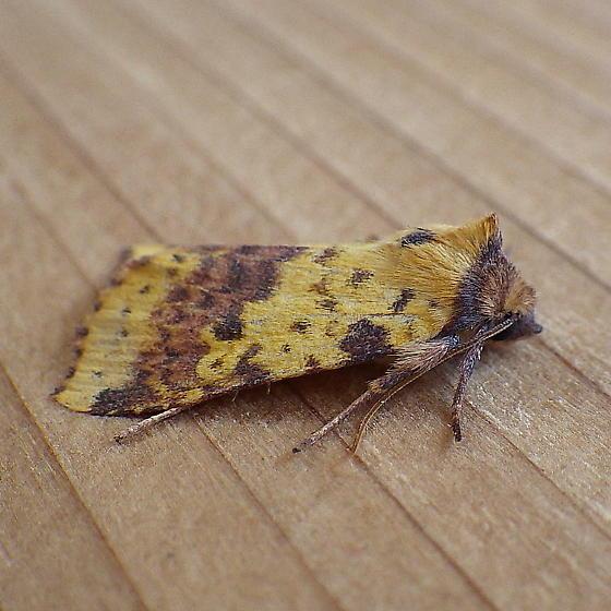 Noctuidae: Xanthia tatago - Xanthia tatago