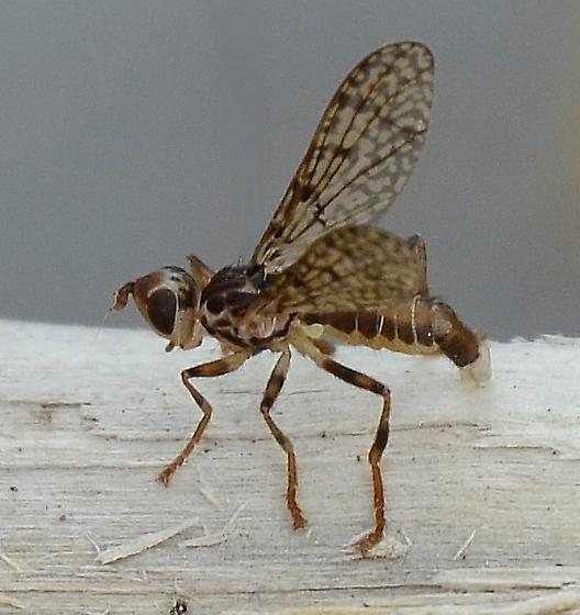 Diptera - Boreothrinax maculipennis