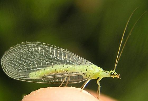Black-speckled Green Lacewing, 5:08pm - Chrysopa chi