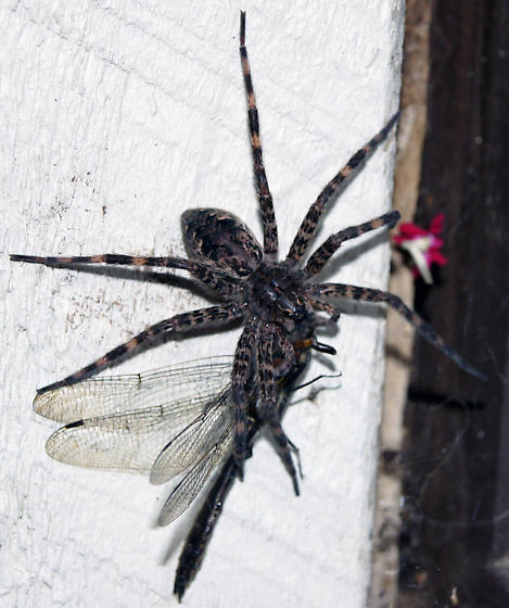 large hairy spider eating a dragon fly - Dolomedes tenebrosus