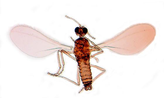 Miastor metraloas (Diptera: Cecidomyiidae) male. In dorsal view. - Miastor metraloas - male