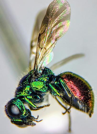 San Jose 1 - Pseudomalus auratus