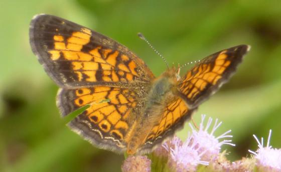 UnknownButterfly105 - Phyciodes tharos