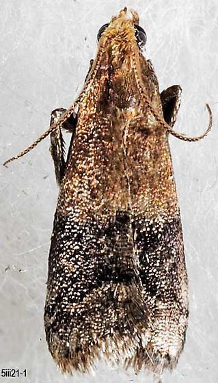 moth - Eulogia ochrifrontella - male