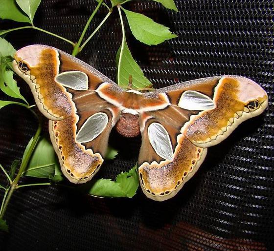 Rothschildia Lebeau Forbesi (Forbes' Silkmoth) - female - Rothschildia lebeau - female