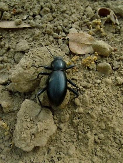 Beetle ID please - Eleodes