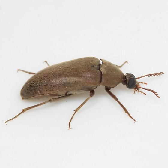 Trigonodera schaefferi Rivnay - Trigonodera schaefferi