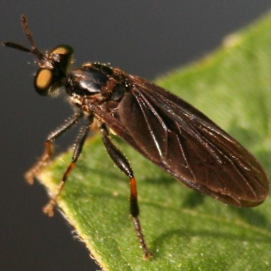 Red Tibia Robber Fly - Left Dorsal - Eudioctria tibialis