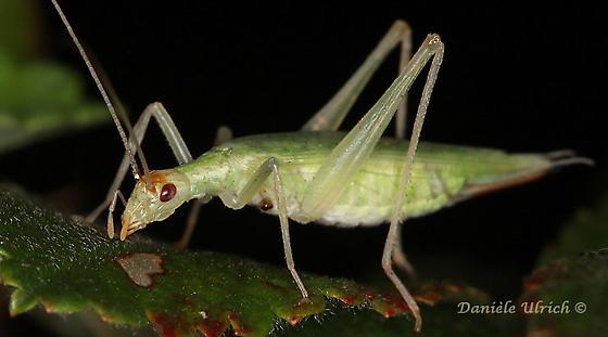 Oecanthus - Oecanthus fultoni - female